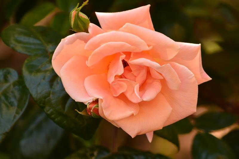 Nikon D7100 - Rose Flower