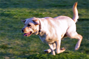 Yellow lab running