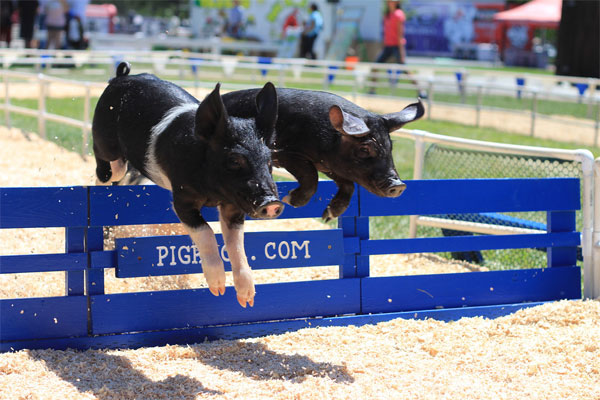 Canon 650D T4i - Racing Pigs