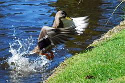 Duck in Flight Taken With DSLR