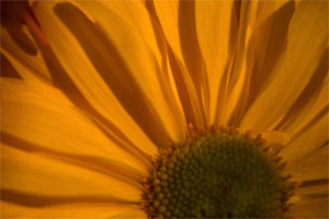 Flower petal closeup