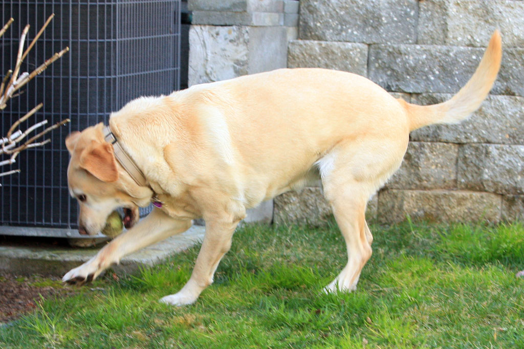 Yellow Lab Playing With Ball