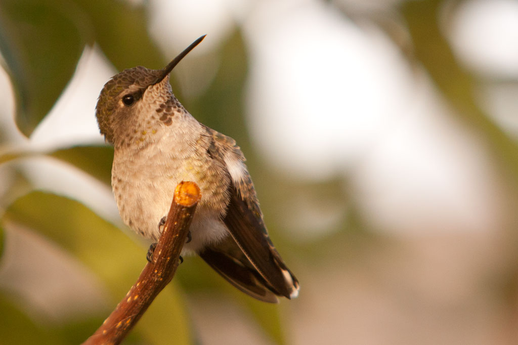 Hummingbird Resting on Tree Branch