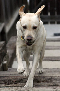 Running Yellow Labrador