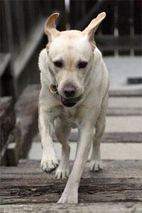 Running Yellow Labrador
