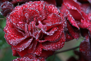 Roses with dew